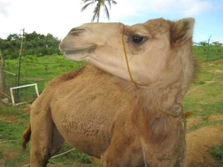 A Dromedary camel up close.