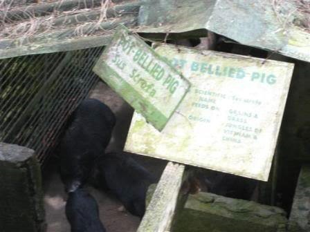 Fans of this inn's pot-bellied pig would be delighted to see that it has multiplied already.